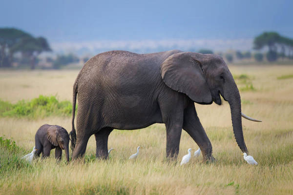 Amboseli Wall Art - Photograph - Life by Young Feng