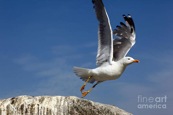 Wing Back Photograph - Lift Off by James Brunker