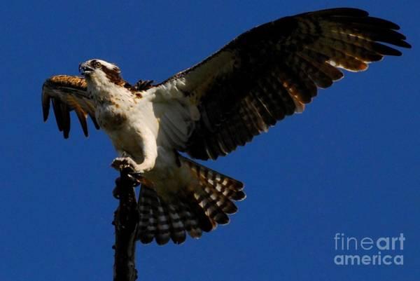 Fish Eagle Photograph - Lift Off by Quinn Sedam