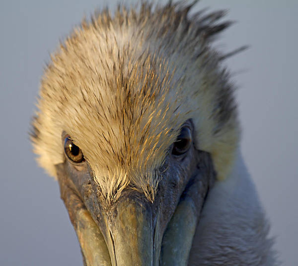 Brown Pelicans Wall Art - Photograph - Light And Dark by Betsy Knapp