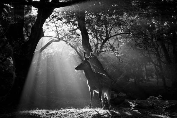 Wall Art - Photograph - Light And Deer by Yoshinori Matsui