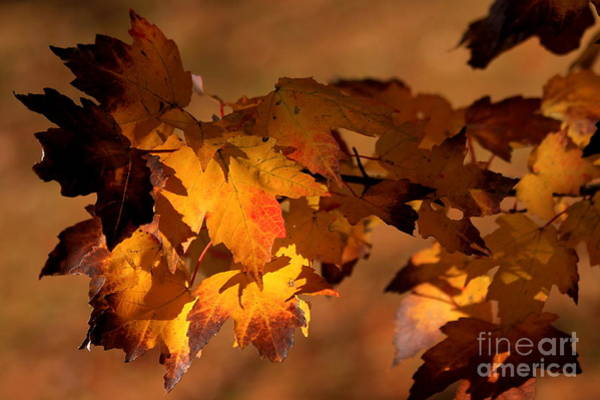 Photograph - Light And Silver Or Red Maple Leaves by Reid Callaway