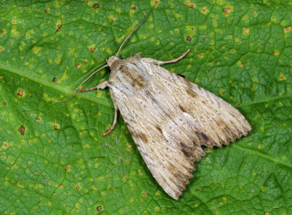 Entomological Photograph - Light Arches Moth by Nigel Downer
