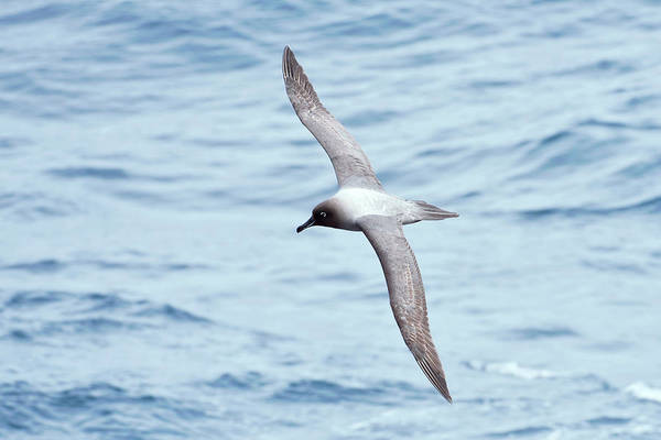 Wall Art - Photograph - Light-mantled Albatross by Dr P. Marazzi/science Photo Library