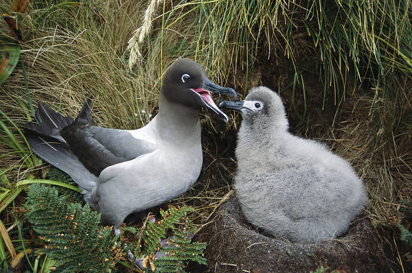 Wall Art - Photograph - Light-mantled Albatross Feeding Chick by Tui De Roy
