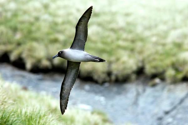 Wall Art - Photograph - Light-mantled Albatross by William Ervin/science Photo Library