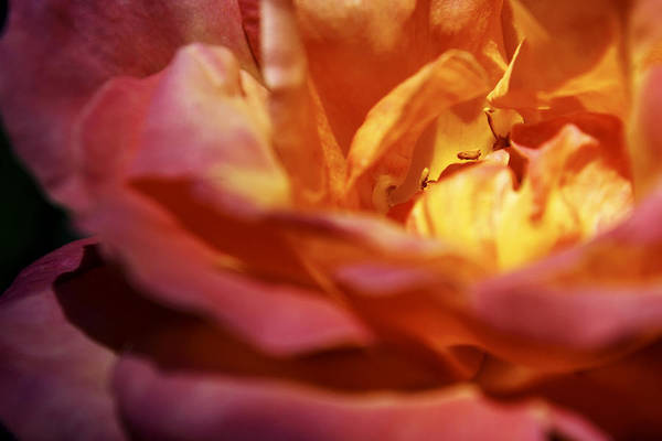 Photograph - Light Of The Rose by Jason Politte