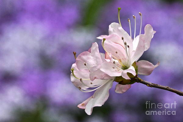 Photograph - Light Pink Azalea Blossom With Lilac Bokeh by Byron Varvarigos