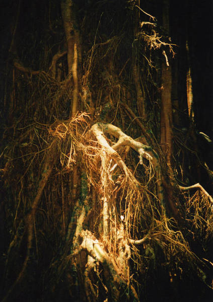 Atherton Tablelands Photograph - Light Roots by Evelyn Tambour
