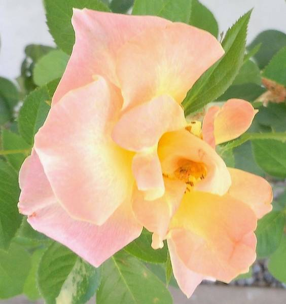 Photograph - Light Rose by John Norman Stewart