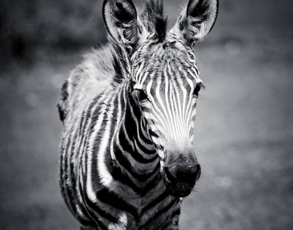 Photograph - Light Toned Black And White Zebra Foal by Maggy Marsh