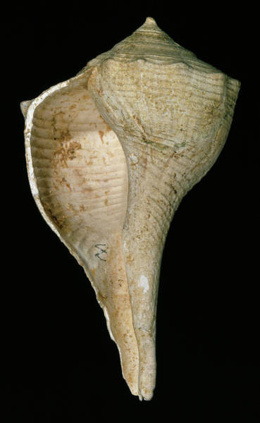Mollusca Photograph - Lightning Whelk by Natural History Museum, London