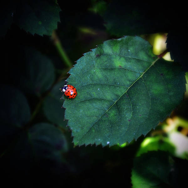 Photograph - Lil Ladybug by Natasha Marco