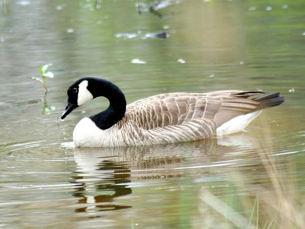 Photograph - Lila Goose Queen Of The Pond 2 by Lesa Fine