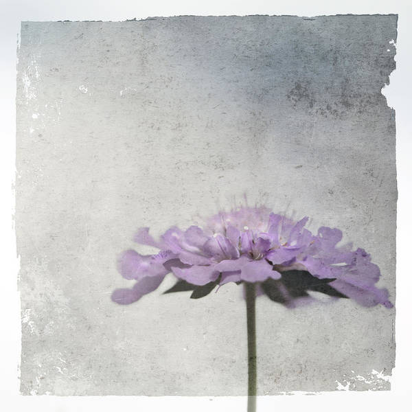 Photograph - Lilac by Annie Snel