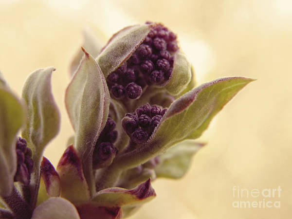 Wall Art - Photograph - Lilac Bloom by Emily Kelley