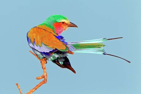 Roller Photograph - Lilac-breasted Roller by Bildagentur-online/mcphoto-schaef