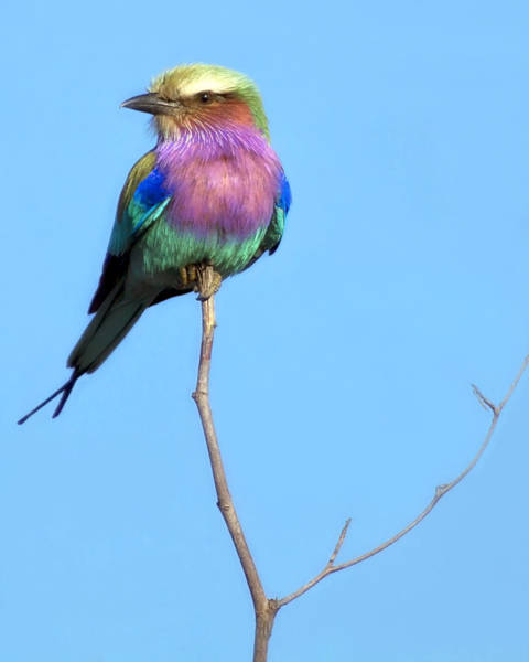 Photograph - Lilac-breasted Roller I by Gigi Ebert