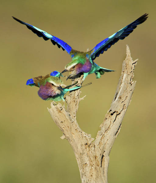 Wall Art - Photograph - Lilac-breasted Rollers Coracias by Animal Images
