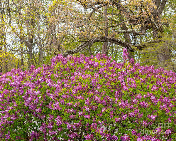 Photograph - Lilac Bushes In May by Susan Cole Kelly