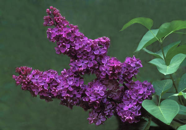 Wall Art - Photograph - Lilac by Dave Mills