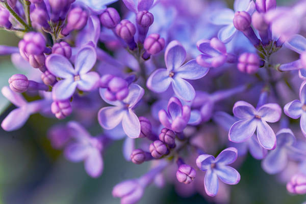 Photograph - Lilac Dream by Jenny Rainbow