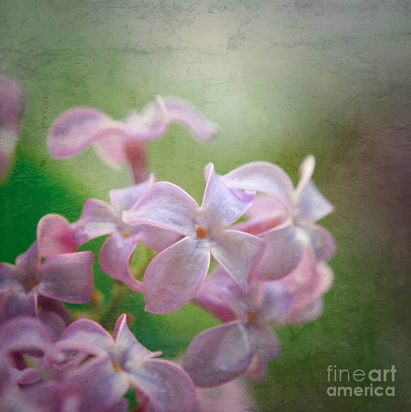 Lilac Dreaming  Art Print