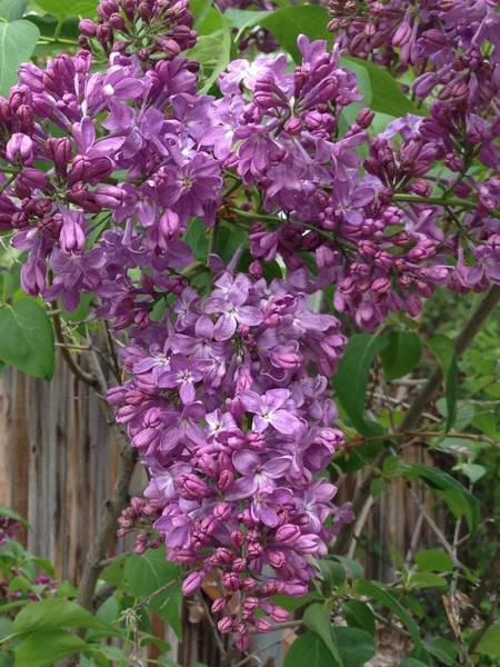 Photograph - Lilac by Portraits By NC