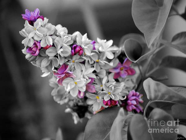 Photograph - Lilac Flowers by Jai Johnson