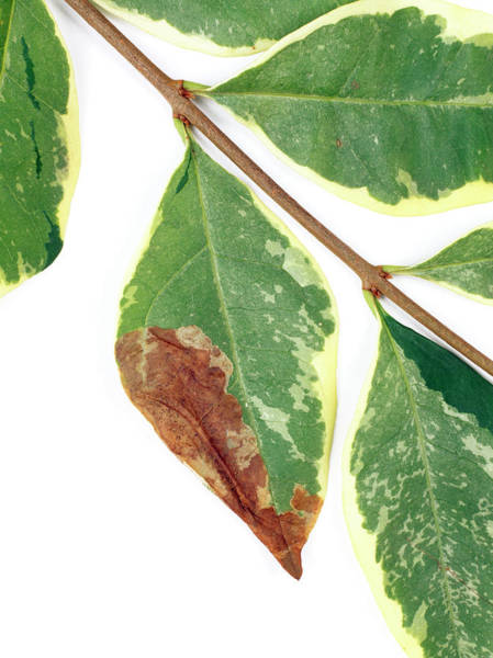 Miners Photograph - Lilac Leaf Miner by Geoff Kidd/science Photo Library