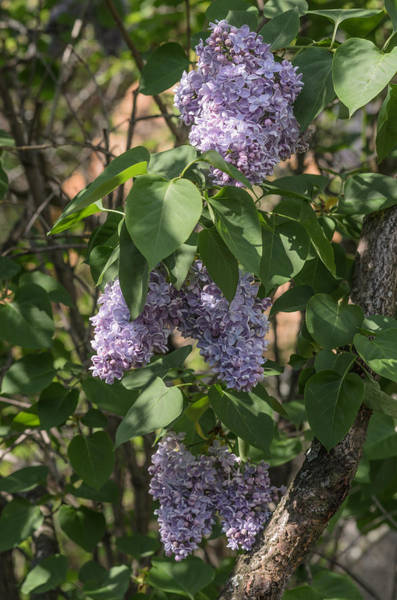 Photograph - Lilac by Michael Goyberg