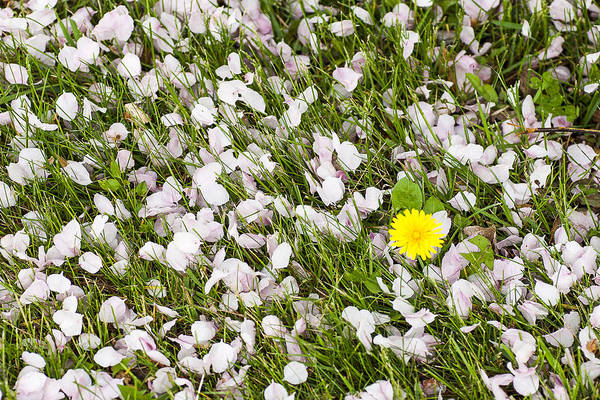 Photograph - Lilac Petals - Arboretum - Madison by Steven Ralser