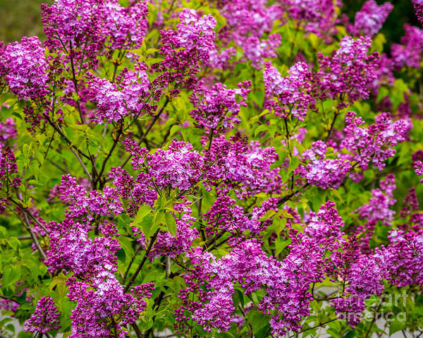 Photograph - Lilac Sunday by Susan Cole Kelly