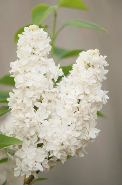 Wall Art - Photograph - Lilac (syringa Vulgaris 'angel White') In Flower by Maria Mosolova/science Photo Library