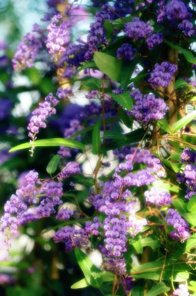 Climbing Vine Photograph - Lilac Vine (hardenbergia Violacea) by Maria Mosolova/science Photo Library
