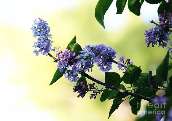 Photograph - Lilacs by Trina  Ansel