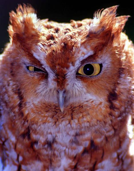 Screech Owl Photograph - Screech by Skip Willits