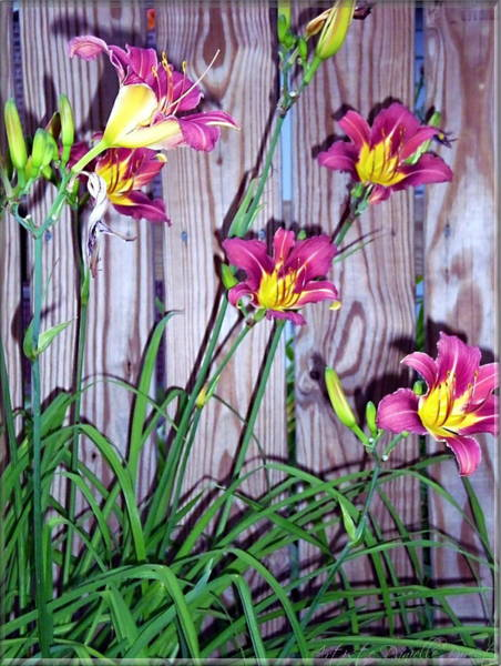 Lilies Against The Wooden Fence Art Print