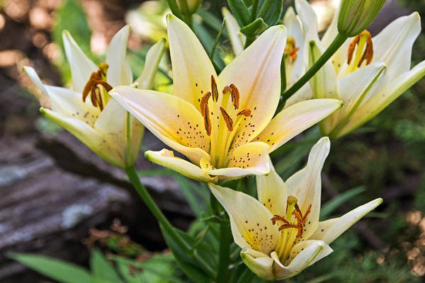Photograph - Lilies At The Cheese Factory by Theo OConnor