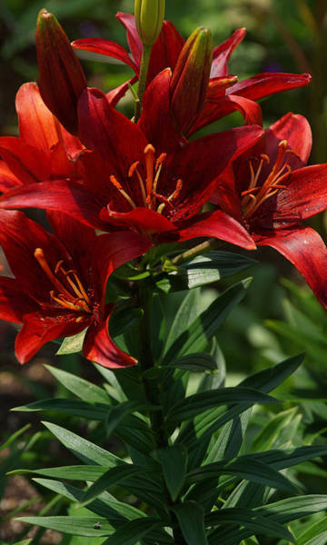 Photograph - Lilies In Red by Leda Robertson