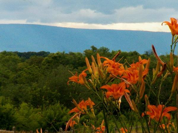 Frederick County Wall Art - Photograph - Lilies In The Valley by Joyce Kimble Smith