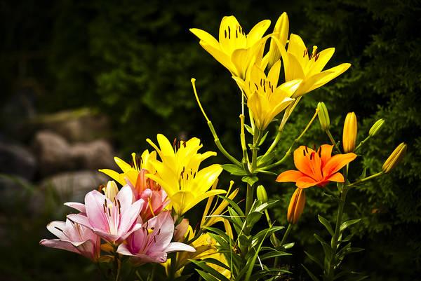 Photograph - Lilies Of The Garden by Christi Kraft