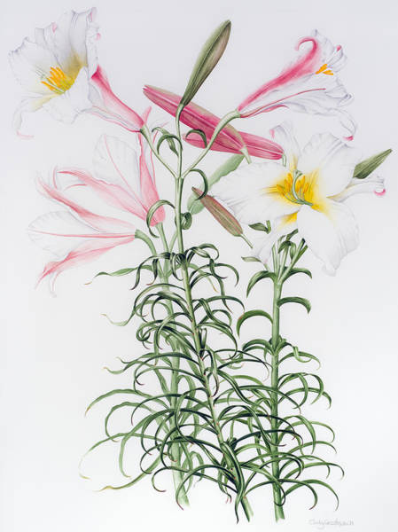White Lily Painting - Lilies by Sally Crosthwaite