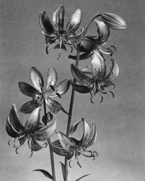 Wall Art - Photograph - Lilium Hansonii by J. Horace McFarland