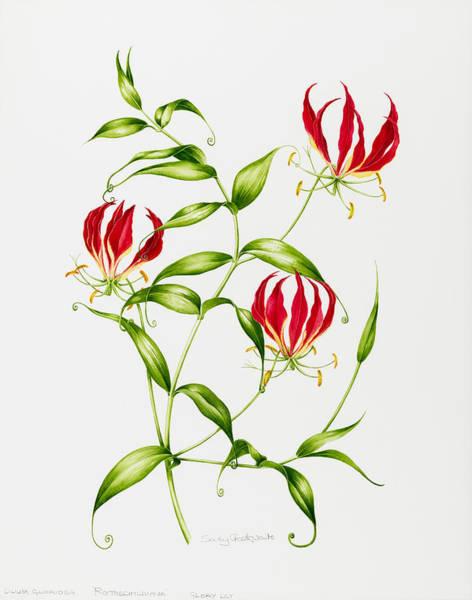 Lilium Wall Art - Painting - Lilium Rothschildiana by Sally Crosthwaite
