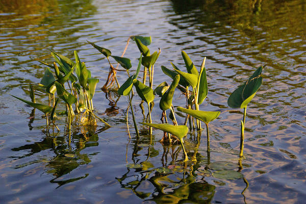 Photograph - Lillies In Evening Glory by Lynda Lehmann