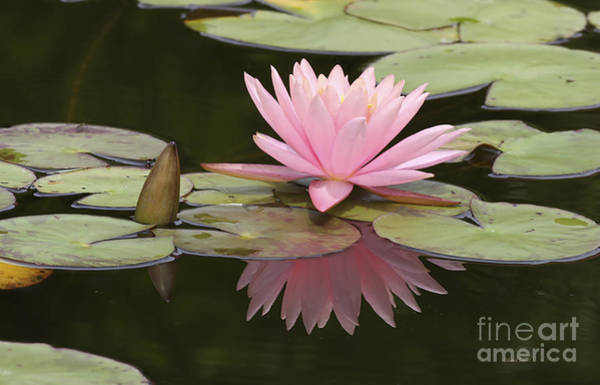 Lillypad Photograph - Lilly And Reflective Beauty by Deborah Benoit