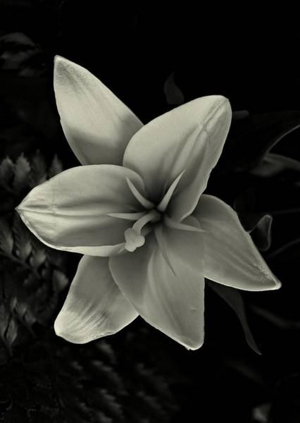 Photograph - Lilly In Black And White by David Dehner