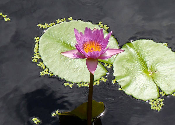 Water Lillies Photograph - Lilly Lake by Carey Chen