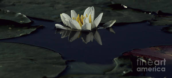 Lillypad Photograph - Lilly Of The Morning by Sharon Elliott